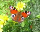 Papillon Paon de jour - Bernard GILLOT