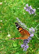 Un papillon qui aime la lavande par Jacqueline DUBOIS sur L'Internaute
