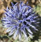 Fleur bleue - Bernard De Greef