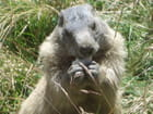 Marmotte - CHRISTINE MARCHI
