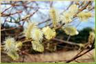 Fleurs du saule - Claude RENOUF