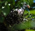 Pigeon ramier par Didier MARZIN sur L'Internaute