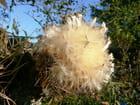Fleur d'Artichaut - Bernard LEBORGNE