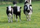 Vaches noires et blanches par catherine guillomaud sur L'Internaute