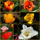 Tulipes du jardin - Marie JOUPELLE