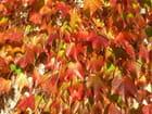 Vigne vierge à l'automne -