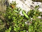 Mante religieuse - raymond mingaud