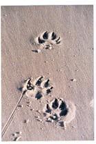 traces de pattes sur le sable - Genevieve LAPOUX