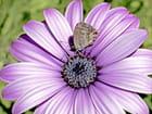 Papillon porte-queue - Huguette Roman