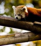 Panda roux par David FRITZ sur L'Internaute