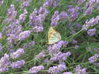 Papillon sur lavande - Patrice PLANTUREUX