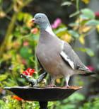 Pigeon Ramier - Didier MARZIN