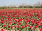tulipes rouges - Jacqueline morvan