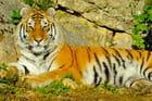Tigre au repos - Gilles OSTER
