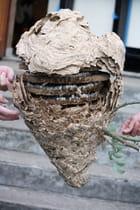 Nid de frelons asiatiques - JOSIANE PELLETIER