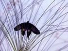 Papilio polytes (Philippines) - Sylviane NATOLI