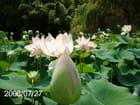 Une plantation de Lotus - Nicole ROLLIN ex Béjars
