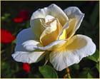 Rose au jardin. - Serge AGOMBART
