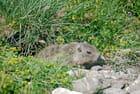 Une marmotte coquine - Philippe MANAEL