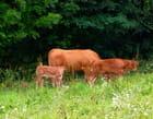 Vache et veaux - josiane ferret