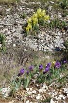 Iris nain - raymond mingaud
