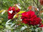 Roses rouges par Cathy AGNIEL sur L'Internaute