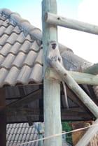 Le singe Vervet par Genevieve LAPOUX sur L'Internaute