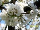 Cerisier en fleurs - Christine Dijoux