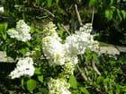 Lilas blanc -