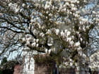 Magnolia for ever - lorouet LOROUET