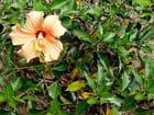 Hibiscus Jaune-Orangé - Jean-pierre MARRO