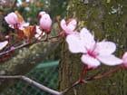 Fleurs de prunus - Marcelle GAVEL