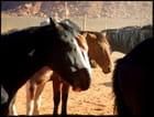 Mustangs - pierre bassette