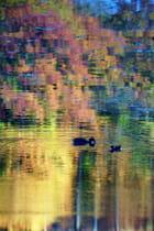 Deux canards sur un rêve - Agnès CHEVALIER