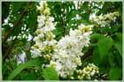 Parfum printanier du lilas blanc - Jacqueline DUBOIS