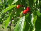 Bing les belles cerises - Albert IPERT