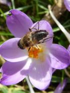 Abeille et fleur de crocus - Malou TROEL
