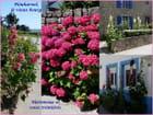 Hortensias et roses trémières (Juliane) - JULIANE PHILIPPOT