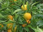 Citron de Menton - JEAN MARC BRY