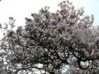 Magnolia for ever-one more - lorouet LOROUET