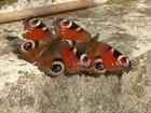 Papillons paon du jour par robert cassel sur L'Internaute