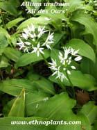 Allium ursinum graines - ethno ethnoplants