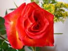 Rose 3 par Jean-Daniel David sur L'Internaute
