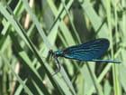 Libellule bleue par Stéphanie IMBERT sur L'Internaute