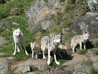 Meute de loups - Odile JALOUNEIX-HOUZET