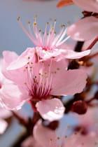Fleurs de cerisier - Jacques KERFORNE