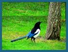 dans mon jardin , la pie se demande comment acceder aux grains dans la boite dans l'arbre - jeannine delecourt