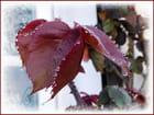 Givre et petites perles d'eau sur les feuilles du rosier Papa Meilland - Jacqueline DUBOIS