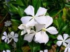 Flore de la Réunion, suite - guy launoy