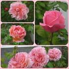 La vie est une rose ... - Jacqueline DUBOIS